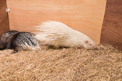 porcupine in the farm Stock Image
