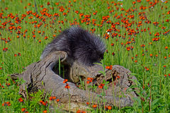Porcupine feeding on a orange Hawkweed Flower. Stock Images