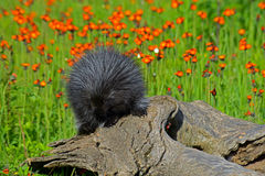 Porcupine feeding on a orange Hawkweed Flower. Stock Photography