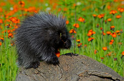 Porcupine feeding on a orange Hawkweed Flower. Stock Image