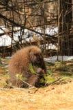 Porcupine Feeding Stock Images
