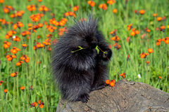 Porcupine in a field of orange flowers. Royalty Free Stock Photo