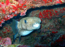 Porcupine Fish. A Porcupine Fish, a member of the puffer family, looks out from the reef with its big sad eyes.  These fish are uncommon and shy but have lots of Stock Photos