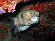 Porcupine Fish. A Porcupine Fish, a member of the puffer family, looks out from the reef with its big sad eyes.  These fish are uncommon and shy but have lots of Stock Images