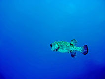 Porcupine Fish. In deep blue water in Mauritius Royalty Free Stock Photo