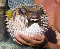 Porcupine fish Royalty Free Stock Images