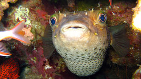Porcupine Fish or Blowfish - Diodontidae Royalty Free Stock Image