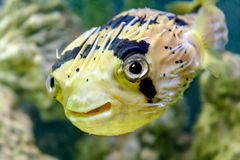 Porcupine fish. Is photographed underwater Royalty Free Stock Photography