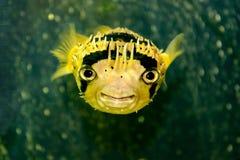 Porcupine fish Royalty Free Stock Photo