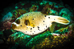 Porcupine fish Stock Photography