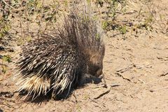 Porcupine - Free and Wild from Africa - Quills for Everyone Royalty Free Stock Image
