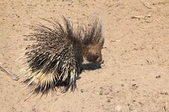 Porcupine - Free and Wild Porcupine from Africa - Black and White Quills Stock Images