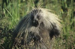 Porcupine in grass Royalty Free Stock Photos