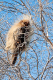 Porcupine high in the tree Stock Photo