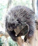 Porcupine Hystricidae Στοκ φωτογραφίες με δικαίωμα ελεύθερης χρήσης