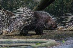 Porcupine Hystrix brachyura Stock Photo