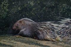 Porcupine Hystrix brachyura. Close up porcupine Hystrix brachyura Stock Photo