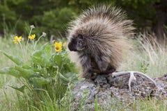 Porcupine i trän Royaltyfri Bild
