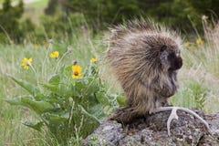 Porcupine i trän Fotografering för Bildbyråer