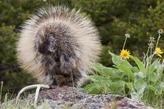 Porcupine i trän Royaltyfri Foto