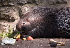 Porcupine. Indian crested porcupine. Sort : Hystrix indica royalty free stock photo