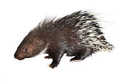 Porcupine isolated Stock Photography