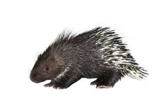 Porcupine isolated Royalty Free Stock Photography