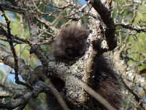 Porcupine in Lichen-covered Tree Royalty Free Stock Photos