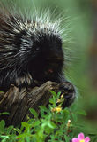 Porcupine on Log Royalty Free Stock Images