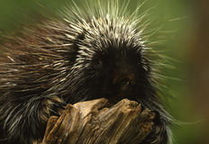 Porcupine on Log Stock Photos