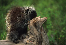 Porcupine on Log Stock Photo