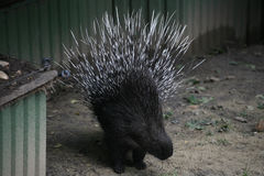 Porcupine Royalty Free Stock Photography