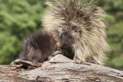 Porcupine Mom και μωρό Στοκ Εικόνες