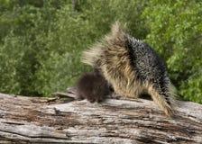 Porcupine Mom και να αγκαλιάσει στοργικά μωρών Στοκ εικόνες με δικαίωμα ελεύθερης χρήσης