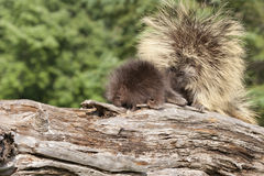 Porcupine Mom and Baby Stock Image