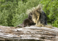 Porcupine Mom and Baby Royalty Free Stock Photos