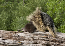 Porcupine Mom and Baby Snuggling Royalty Free Stock Images