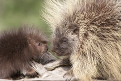 Porcupine Mother and Baby Stock Images