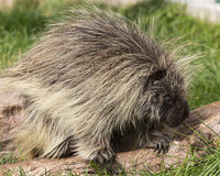 Porcupine. On moving on woodland trail Stock Photos