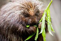 Porcupine Munching στις εγκαταστάσεις Στοκ Φωτογραφίες