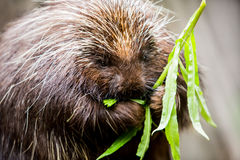 Porcupine Munching on Plants Stock Photos
