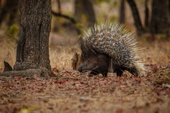 Porcupine in the nature habitat. Indian porcupine in the dayilight. stock images