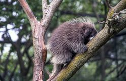 Porcupine out on a limb. Of a small tree in a rural back yard royalty free stock image