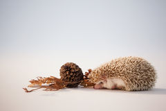 Porcupine with pine cone and autumn leaves on white background Royalty Free Stock Photos