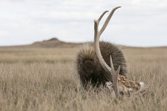 Porcupine in the plains by deer antlers Stock Images