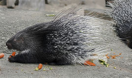 Porcupine 4 Royalty Free Stock Image