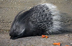 Porcupine 7 Stock Images