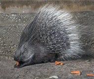 Porcupine 8 Stock Photo