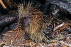 Porcupine Punk Stock Photos