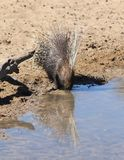 Porcupine Quills - Free and Wild Wildlife from Africa Stock Images